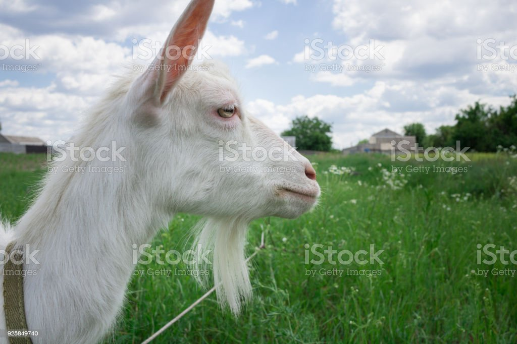 Close-up white goat grassing on green summer field at village stock photo