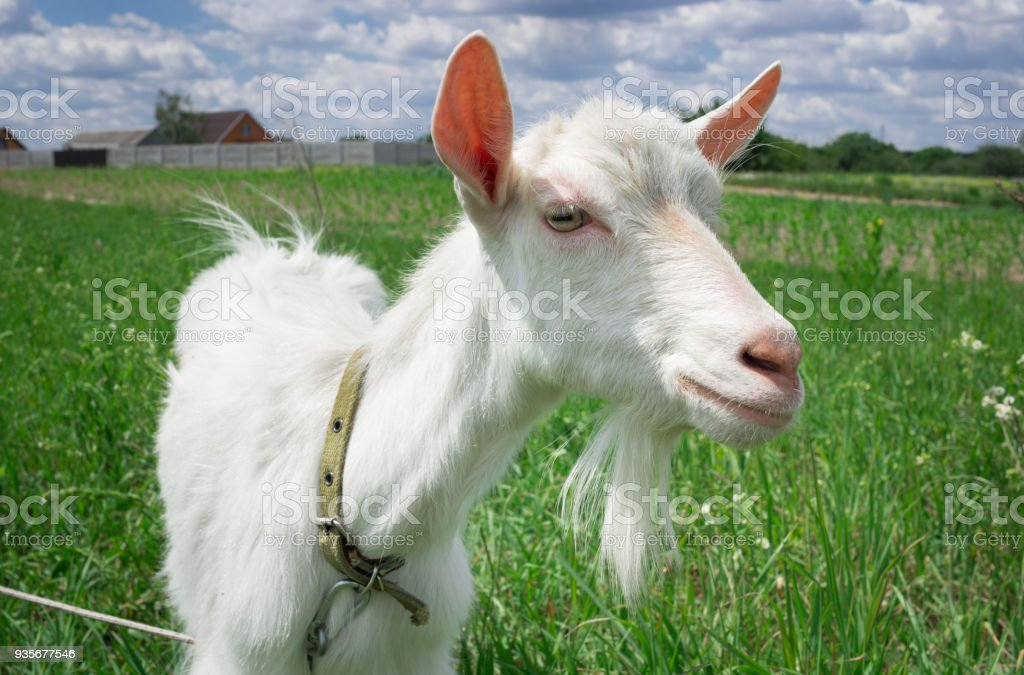 Close-up white goat grassing on green summer meadow at countryside stock photo