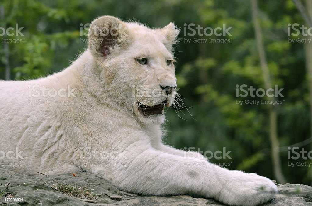 Closeup white lion cub stock photo