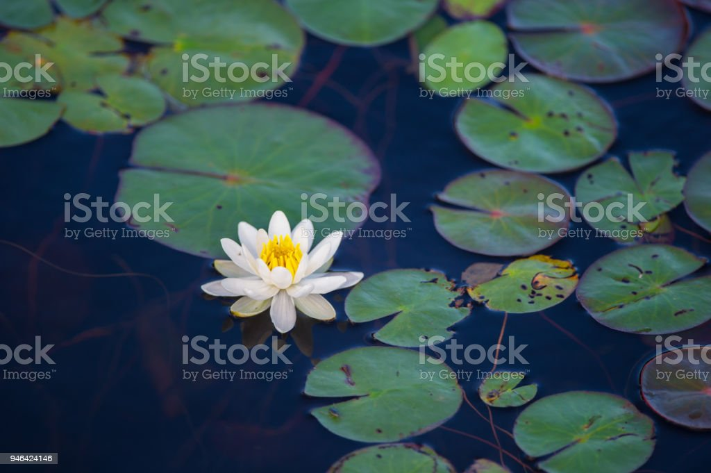 Closeup white lotus flower in the lake. stock photo