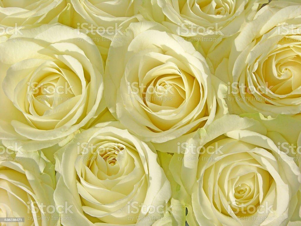 closeup white roses royalty-free stock photo
