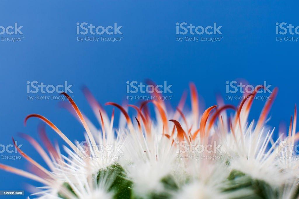 Close-up white thorns and orange leaves of  Echinocereus cactus on bright blue background stock photo