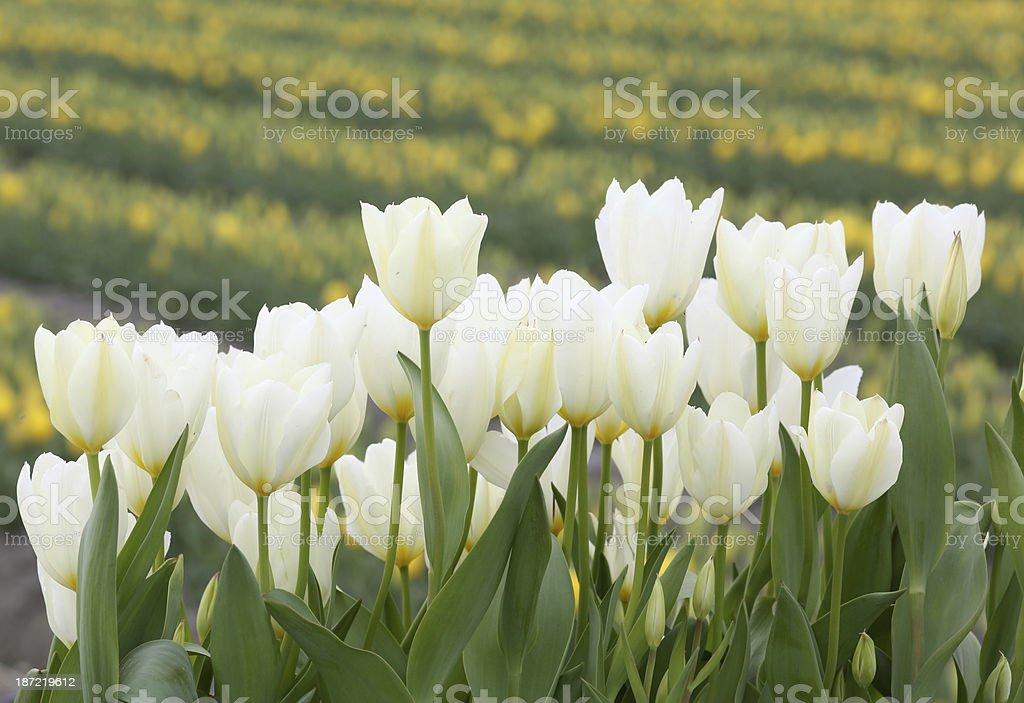 Close-up white tulip flowers royalty-free stock photo