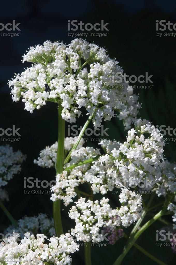 Closeup weißen Valeriana Blüten auf Sonne – Foto