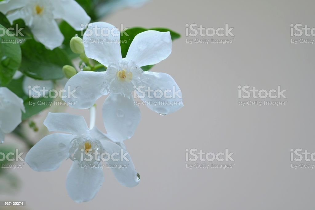 closeup white wrightia flowers with droplet after rain stock photo