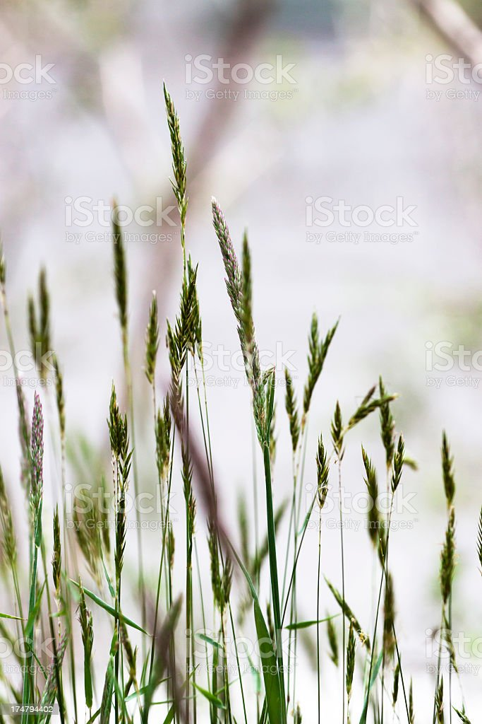 Closeup wild grass, copy space royalty-free stock photo
