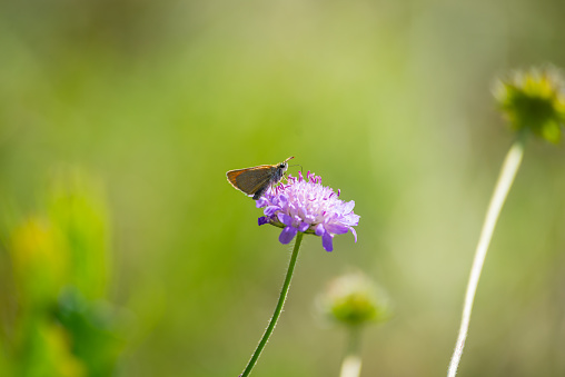 Closeup with Butterfly on a pink clover flower on a blurred summer background. High quality photo