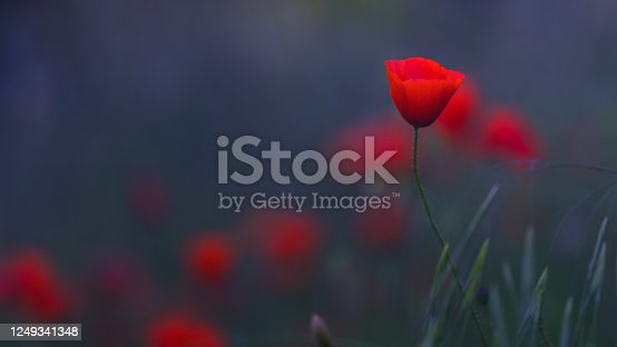 istock Close-up with poppy in field at sunrise 1249341348