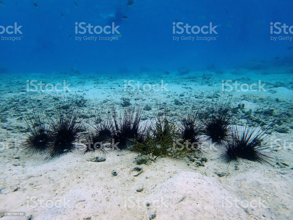 Closeup with the sea urchin during a leisure dive in Tunku Abdul...