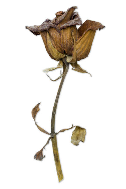 closeup withered red rose on white background. - dead plant stock photos and pictures