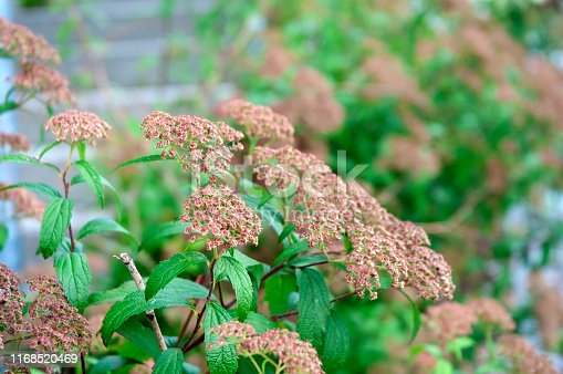 close-up of wilted umbels of spiraea japonica, the japanese meadowsweet, in late summer