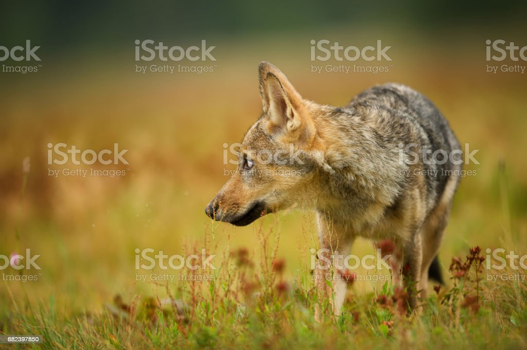 Closeup wolf looking left in yellow grass stock photo