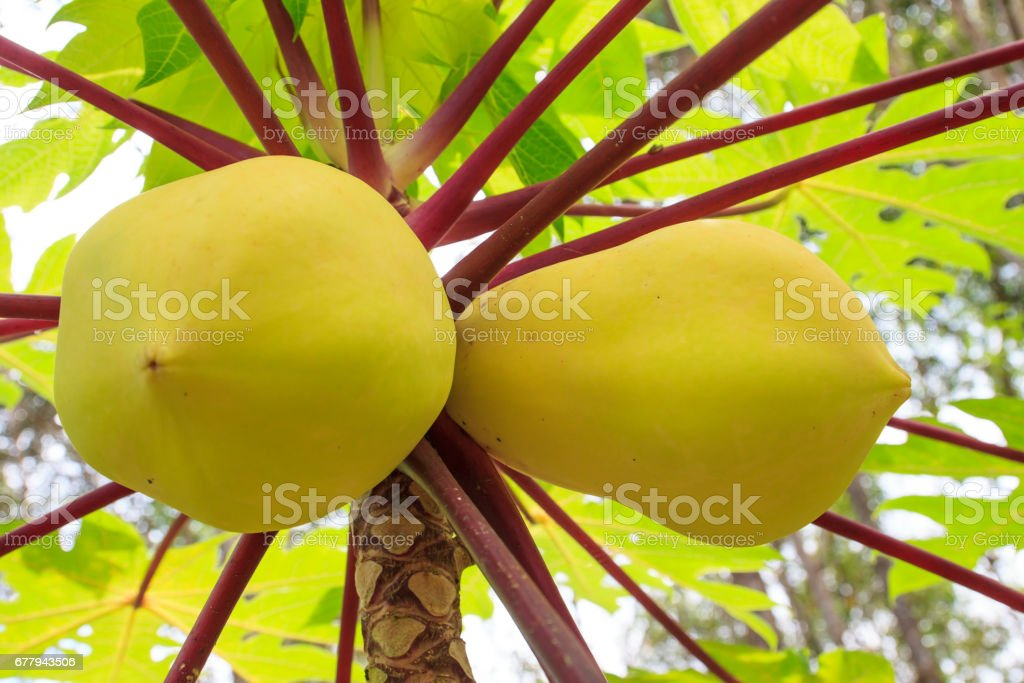 Close-up yellow papaya fruits growing on tree in the garden royalty-free stock photo