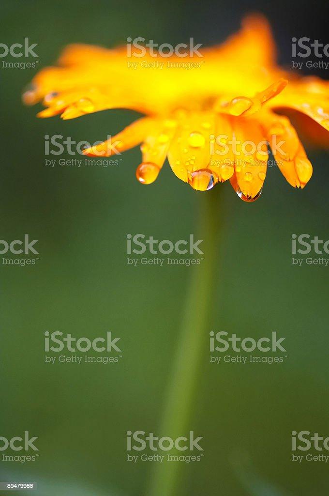 Nahaufnahme gelbe wild Blume. Tau. Grün. Orange. Vertikale. – Foto