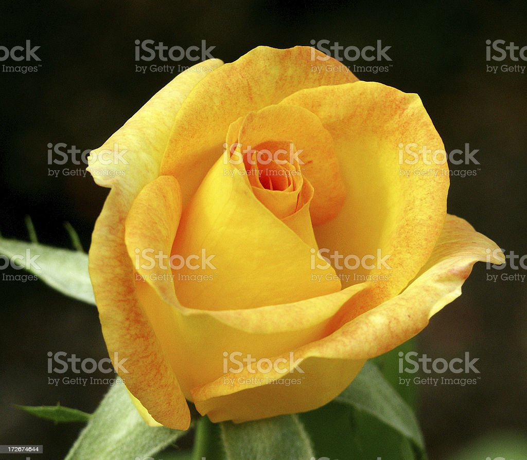 Close-up Yellow/Orange Rose stock photo