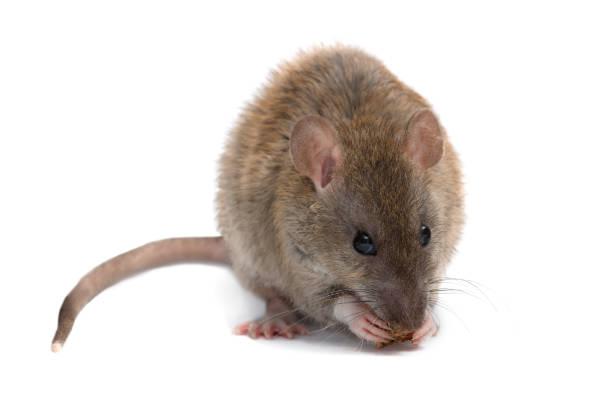 Closeup jonge rat eet beschuit en camera kijken.  geïsoleerd op wit. foto