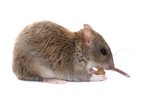 closeup jonge rat eet rusk.  geïsoleerd op witte achtergrond - beschuit met muisjes stockfoto's en -beelden