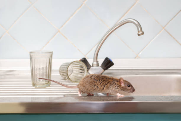 Closeup young rat prowls on the sink at kitchen on background of two faceted glasses. Fight with rodents in the apartment. Extermination. Closeup young rat (Rattus norvegicus) prowls on the sink at kitchen on background of two faceted glasses. Fight with rodents in the apartment. Extermination. rodent stock pictures, royalty-free photos & images