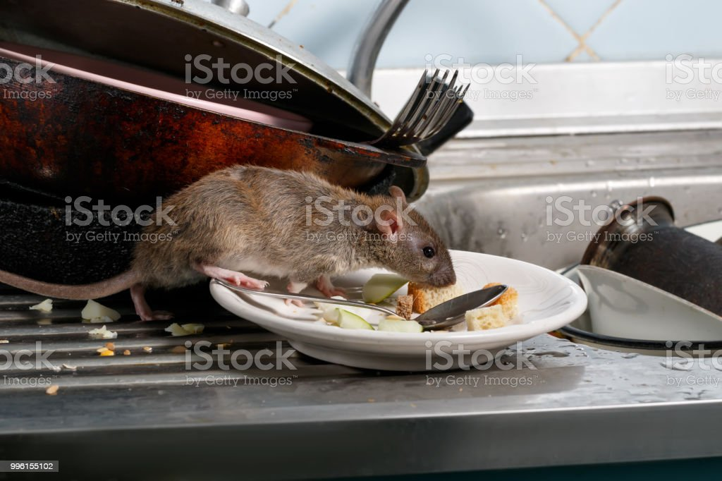 Close-up young rats sniffs leftovers on a plate on sink at the kitchen. stock photo
