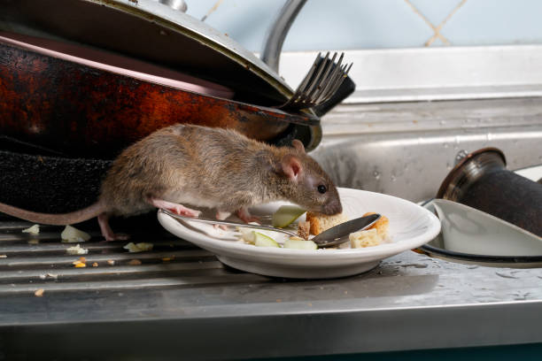 Close-up young rats sniffs leftovers on a plate on sink at the kitchen. Close-up young rats (Rattus norvegicus) sniffs leftovers on a plate on sink at the kitchen. Fight with rodents in the apartment. Extermination. pest stock pictures, royalty-free photos & images