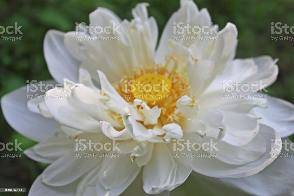 Closeupmacro Details Of Beautiful White Lotus Flower Is A Genus Of