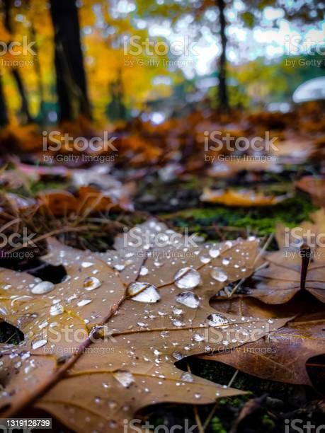 Photo of Closeups of water droplets on a fallen oak leaf