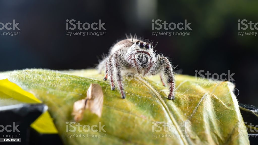 Close-ups Spider on the leaf,Phidippus regius jumping spider on the dark background stock photo