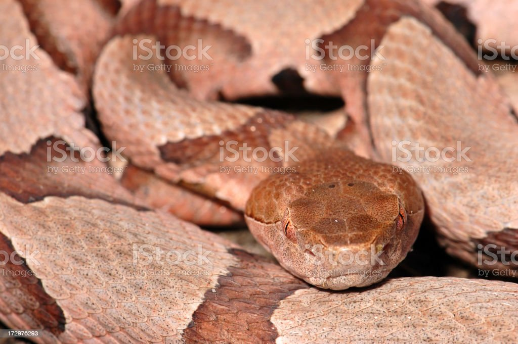Closup of a Southern Copperhead Coiled (Horizontal View) stock photo