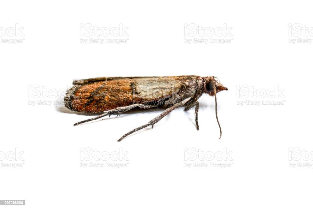 Cloth moth macro stock photo