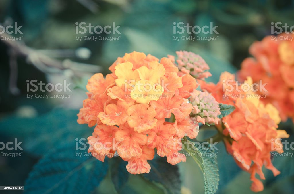 Cloth of gold or Lantana camara flower vintage stock photo