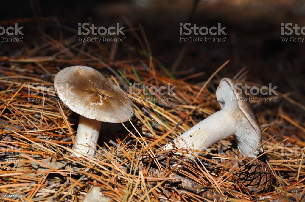 Cloud agaric or cloud funnel, clitocybe nebularis mushroom. stock photo
