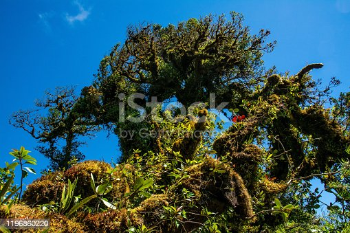 A tree at the top of the Monteverde Reserve contains an incredible amount of orchids and other epiphytes