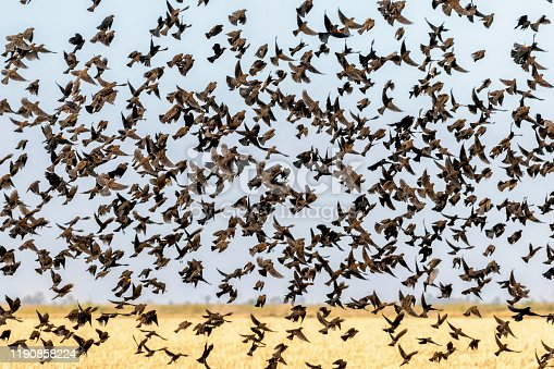 A Flock, Cloud, Cluster or Merle of Blackbirds in a Rice Field