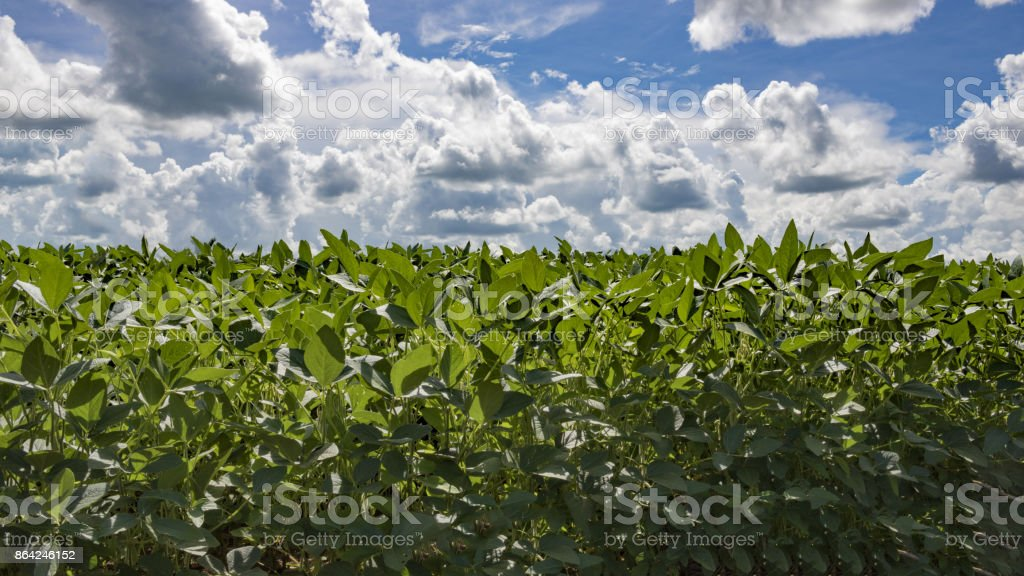 Cloud sky at the soyfield plantation royalty-free stock photo