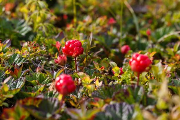 Cloudberries stock photo