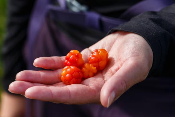 Cloudberries. stock photo