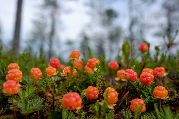 Cloudberry grow in the forest in Russia Cloudberry grow in the forest in Russia. Healthy food in wood republic of karelia russia stock pictures, royalty-free photos & images