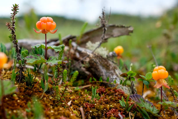 Cloudberry growning on swamp closeup in summer stock photo