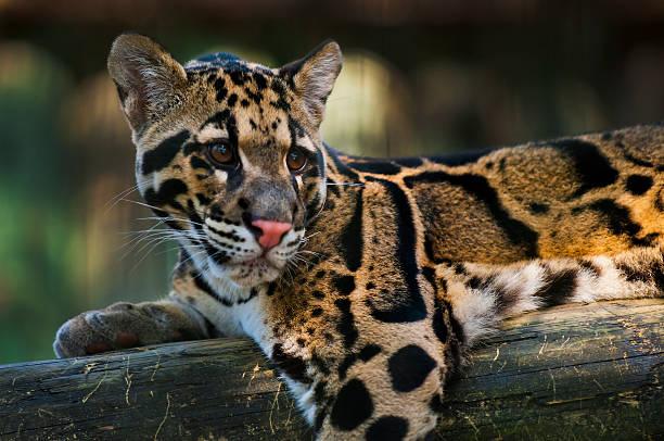 Clouded leopard picture id177010700?b=1&k=6&m=177010700&s=612x612&w=0&h=o0 e8hfketgje9nfeq4ta8yauebglrrrr8m3fn bh9e=