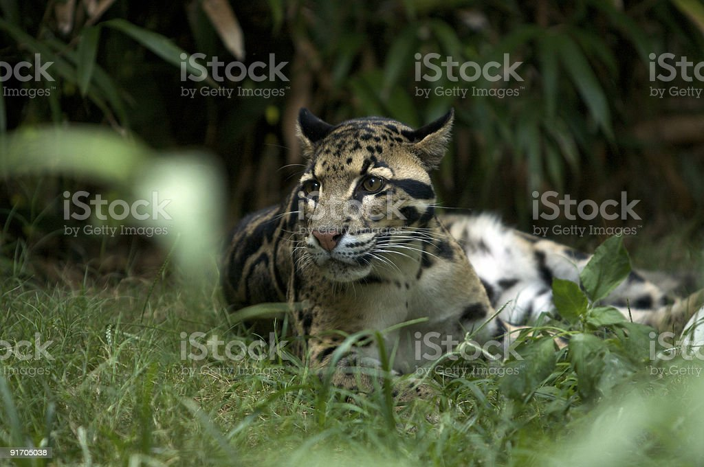 Clouded Leopard Resting stock photo