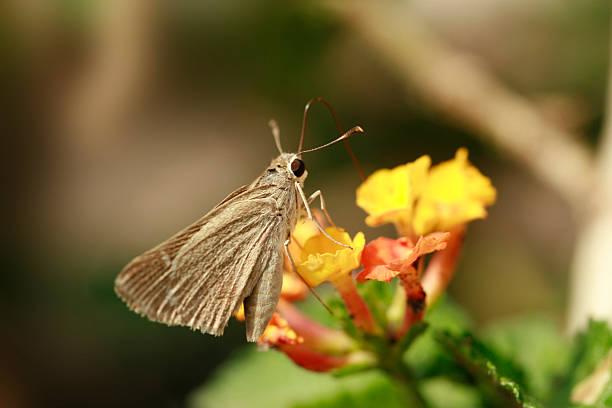 Clouded skipper butterfly sampling flower nectar