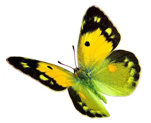 Clouded yellow butterfly in flight picture id456486801?b=1&k=6&m=456486801&s=612x612&w=0&h=mq6r gbcluezvbh7rnbq4i4w 882jpjpecifrwfhc o=