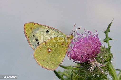 Clouded Yellow butterfly (Colias hyale)