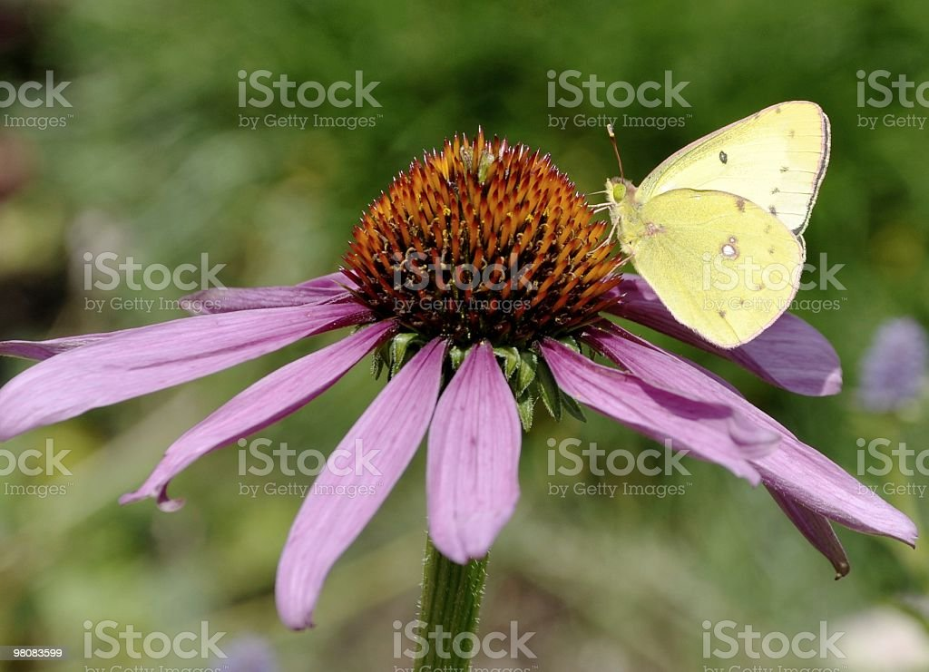 Clouded Yellow butterfly royalty-free stock photo