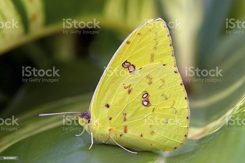 Cloudless Giant Sulphur Butterfly stock photo