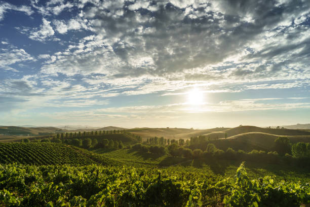 Clouds and sunlight in Sonoma vineyard in summer California wine country with green vines, trees and rolling hills in sunshine sonoma stock pictures, royalty-free photos & images