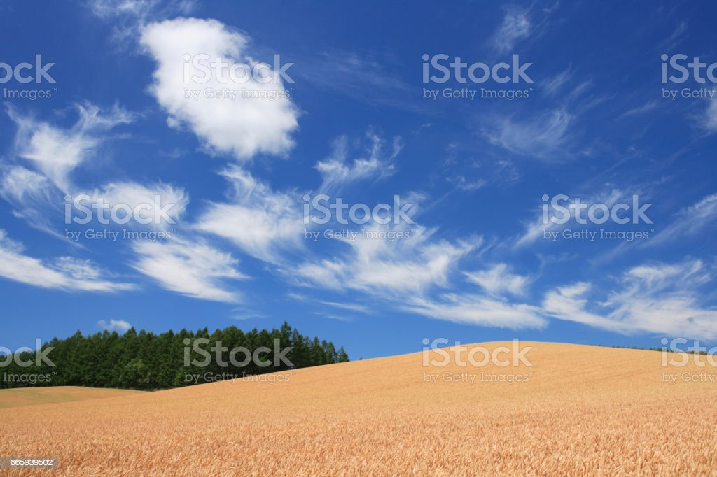 Clouds and the wheat field foto stock royalty-free