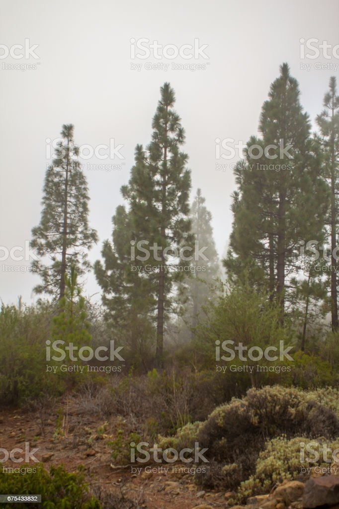 Clouds in the pine forest royalty-free stock photo