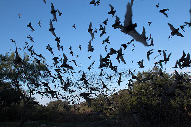 Clouds of Mexican free-tailed bats Texas stock photo