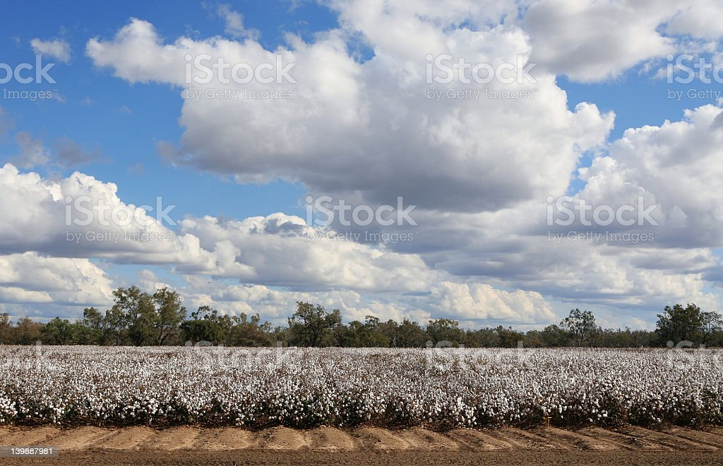 Clouds over a field planted with cotton royalty-free stock photo